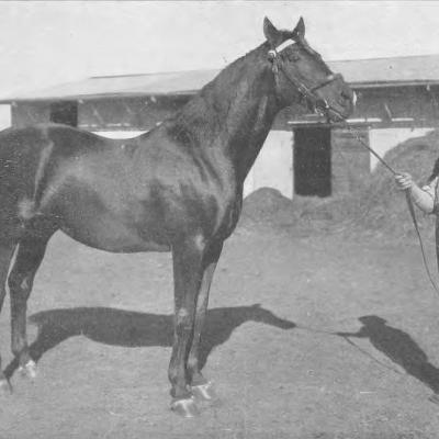 Photo noir et blanc de Diamond Jubilee, étalon du haras de las Ortigas, né en 1897 en Angleterre.